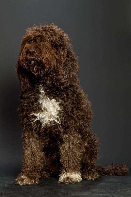 Galleries Barbet French Water Dog