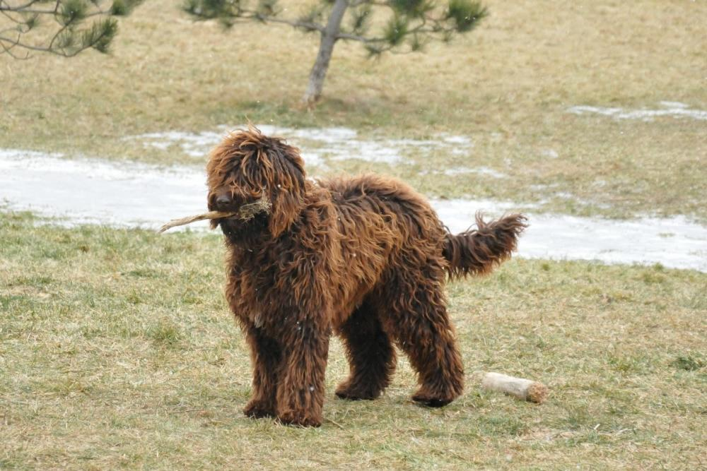 Barbet Dog Breeders Uk