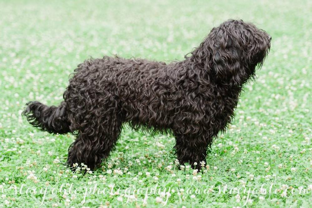 About The Barbet Barbet French Waterdog