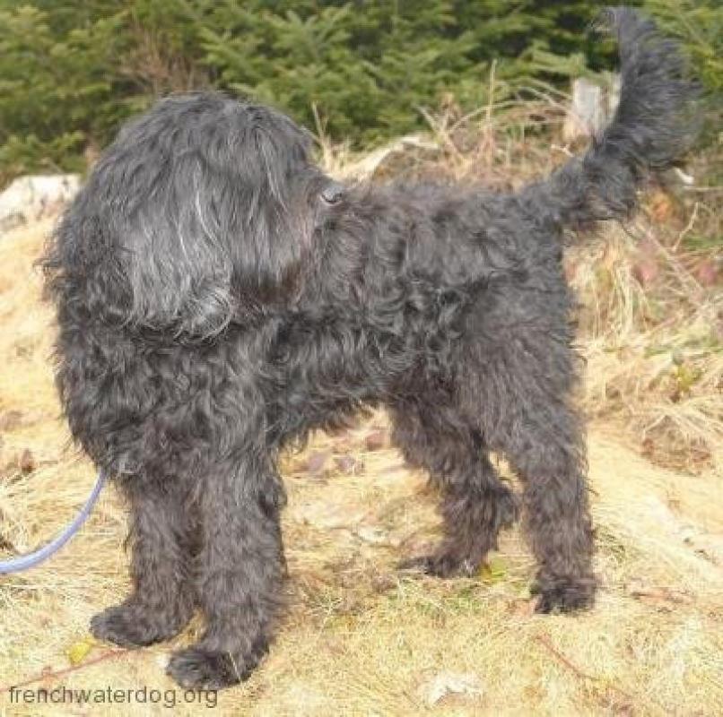 Barbet Dog Breeders Uk