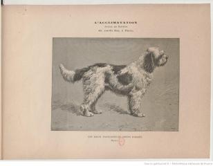 1891-les-races-francaises-de-chiens-darretj-de-coninck2