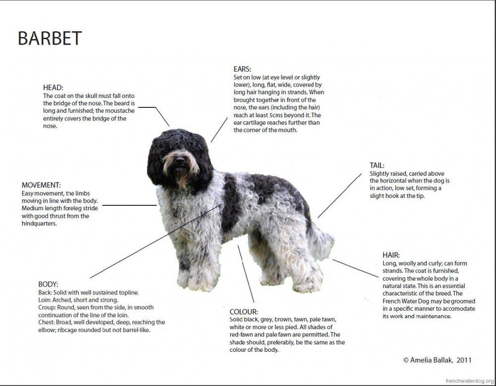 Barbet Diagram Barbet French Water Dog