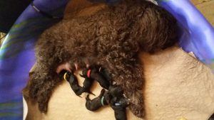 Vegas and her 7 Barbet puppies