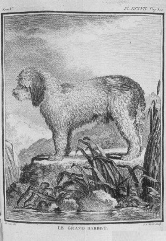 Grand Barbet de Buffon 1766 stood 55cms at the withers