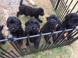 Barbet Puppies in Ottawa Canada
